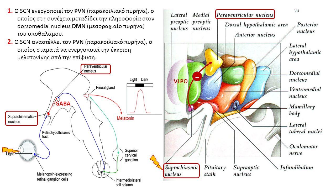 1. Ο SCN ενεργοποιεί τον PVN (παρακοιλιακό πυρήνα), ο οποίος στη συνέχεια μεταδίδει την πληροφορία στον dorsomedial nucleus DMN (μεσοραχιαίο πυρήνα) τ