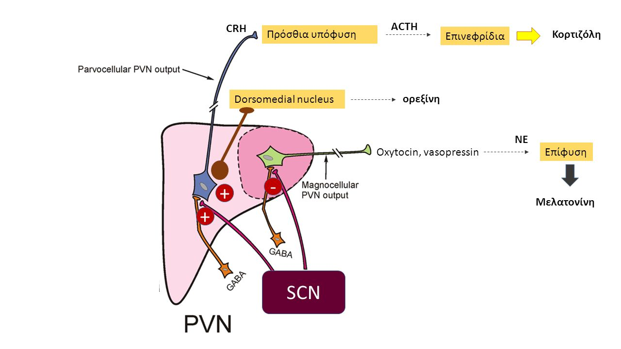 Oxytocin, vasopressin SCN CRH Πρόσθια υπόφυση + + Επίφυση - Dorsomedial nucleus Επινεφρίδια Κορτιζόλη Μελατονίνη ACTH ΝΕ ορεξίνη