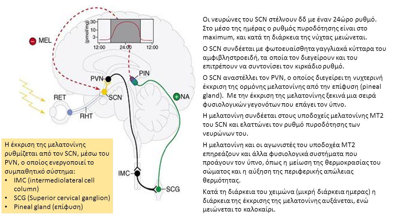 Οι νευρώνες του SCN στέλνουν δδ με έναν 24ώρο ρυθμό.