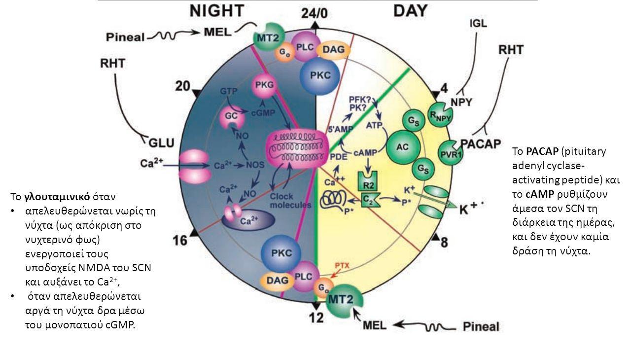 Το PACAP (pituitary adenyl cyclase- activating peptide) και το cAMP ρυθμίζουν άμεσα τον SCN τη διάρκεια της ημέρας, και δεν έχουν καμία δράση τη νύχτα.