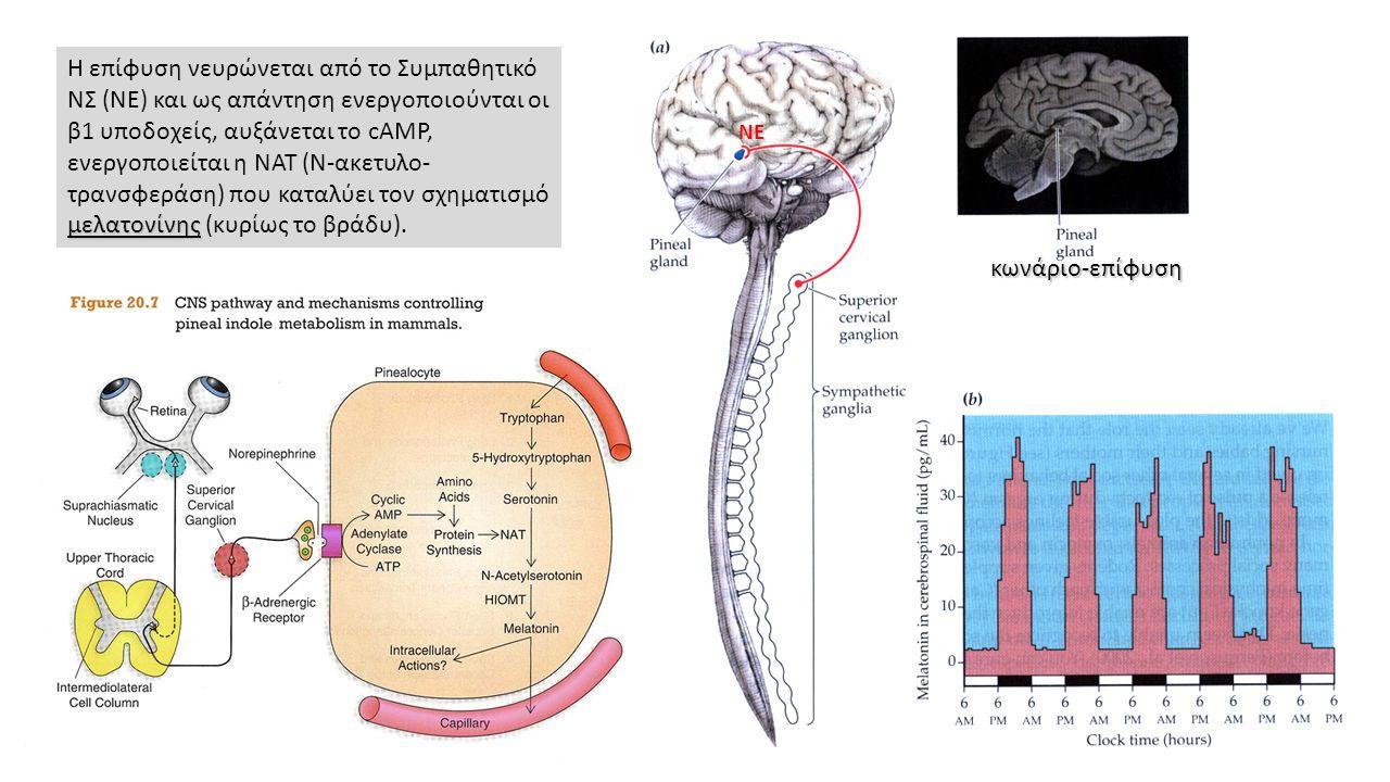 κωνάριο-επίφυση μελατονίνης Η επίφυση νευρώνεται από το Συμπαθητικό ΝΣ (ΝE) και ως απάντηση ενεργοποιούνται οι β1 υποδοχείς, αυξάνεται το cAMP, ενεργοποιείται η ΝΑΤ (Ν-ακετυλο- τρανσφεράση) που καταλύει τον σχηματισμό μελατονίνης (κυρίως το βράδυ).