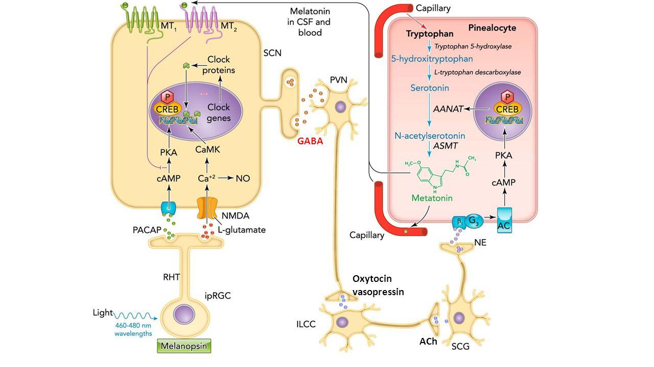ACh GABA Oxytocin vasopressin
