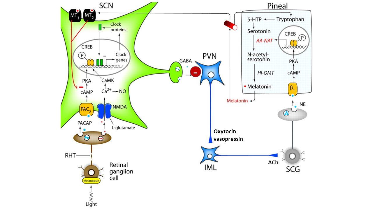 - ACh Oxytocin vasopressin