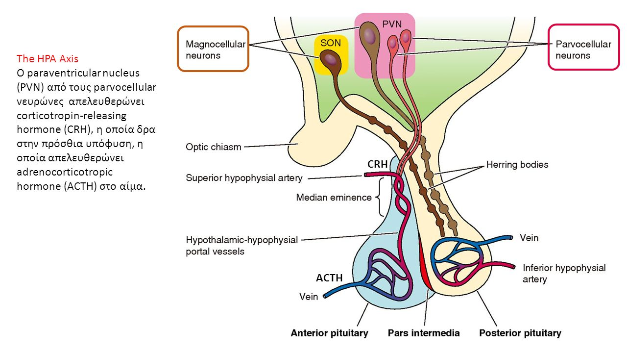 The HPA Axis O paraventricular nucleus (PVN) από τους parvocellular νευρώνες απελευθερώνει corticotropin-releasing hormone (CRH), η οποία δρα στην πρόσθια υπόφυση, η οποία απελευθερώνει adrenocorticotropic hormone (ACTH) στο αίμα.
