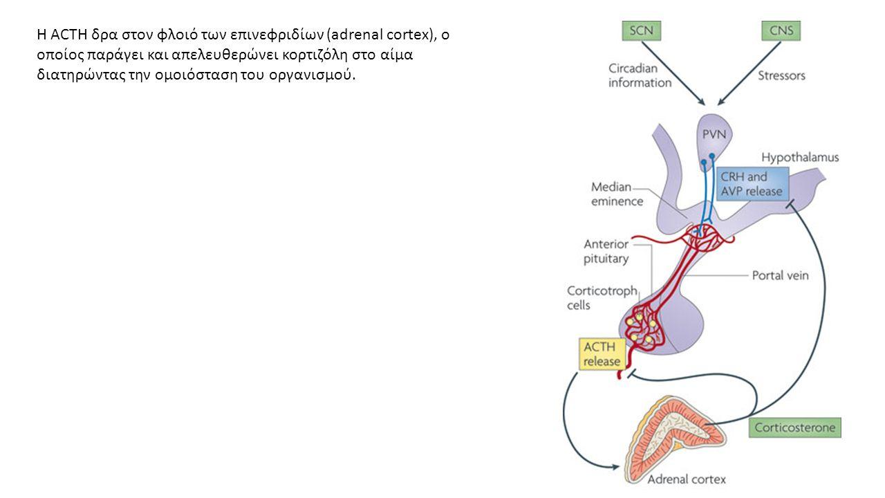 Η ACTH δρα στον φλοιό των επινεφριδίων (adrenal cortex), ο οποίος παράγει και απελευθερώνει κορτιζόλη στο αίμα διατηρώντας την ομοιόσταση του οργανισμού.