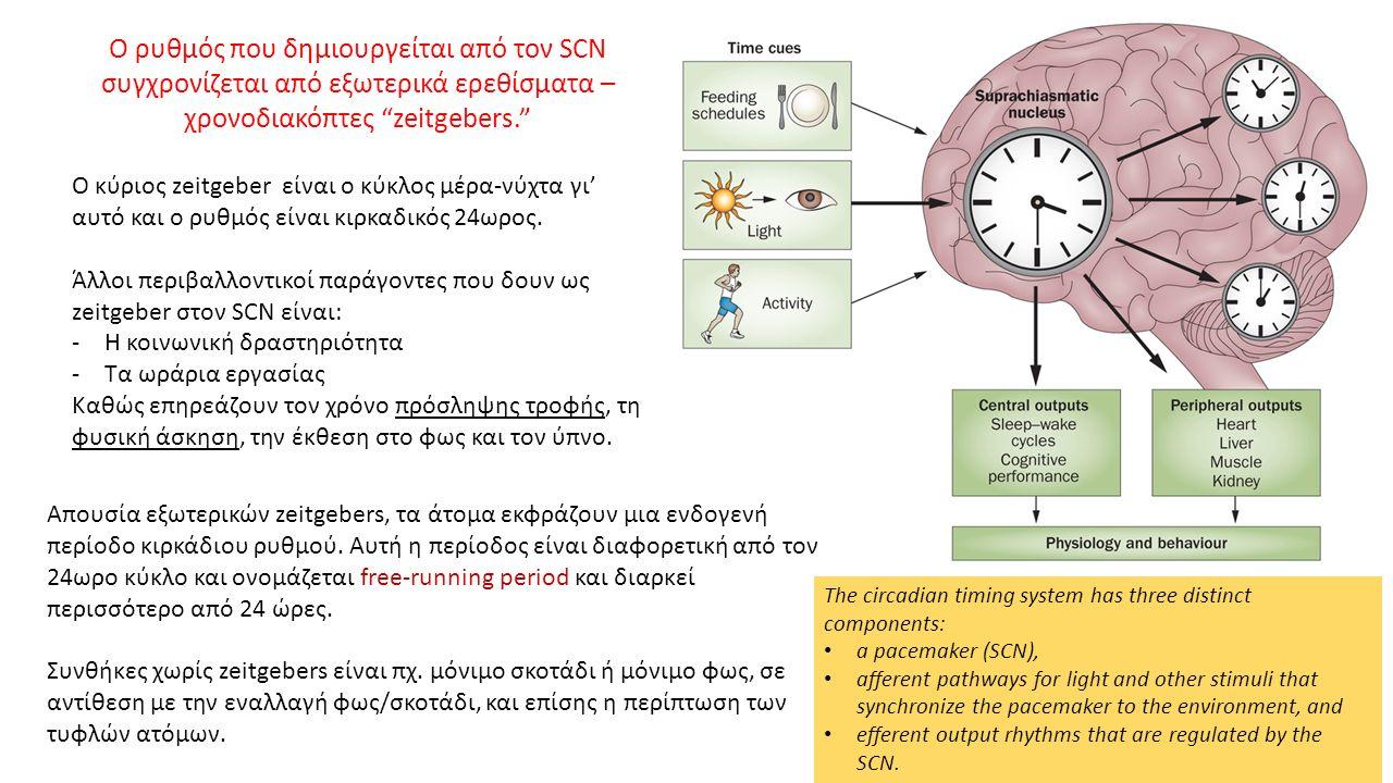 Ο ρυθμός που δημιουργείται από τον SCN συγχρονίζεται από εξωτερικά ερεθίσματα – χρονοδιακόπτες zeitgebers. Ο κύριος zeitgeber είναι ο κύκλος μέρα-νύχτα γι' αυτό και ο ρυθμός είναι κιρκαδικός 24ωρος.