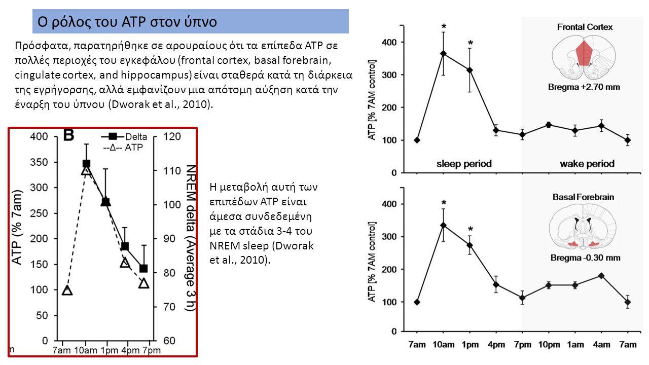Πρόσφατα, παρατηρήθηκε σε αρουραίους ότι τα επίπεδα ATP σε πολλές περιοχές του εγκεφάλου (frontal cortex, basal forebrain, cingulate cortex, and hippocampus) είναι σταθερά κατά τη διάρκεια της εγρήγορσης, αλλά εμφανίζουν μια απότομη αύξηση κατά την έναρξη του ύπνου (Dworak et al., 2010).