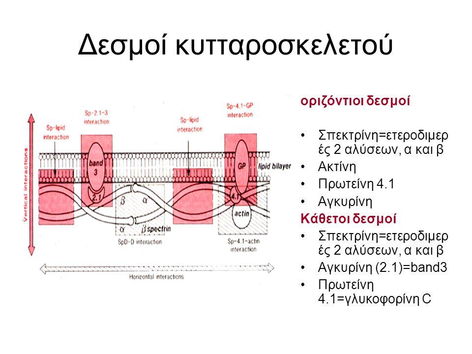 Δεσμοί κυτταροσκελετού οριζόντιοι δεσμοί Σπεκτρίνη=ετεροδιμερ ές 2 αλύσεων, α και β Ακτίνη Πρωτείνη 4.1 Αγκυρίνη Κάθετοι δεσμοί Σπεκτρίνη=ετεροδιμερ έ