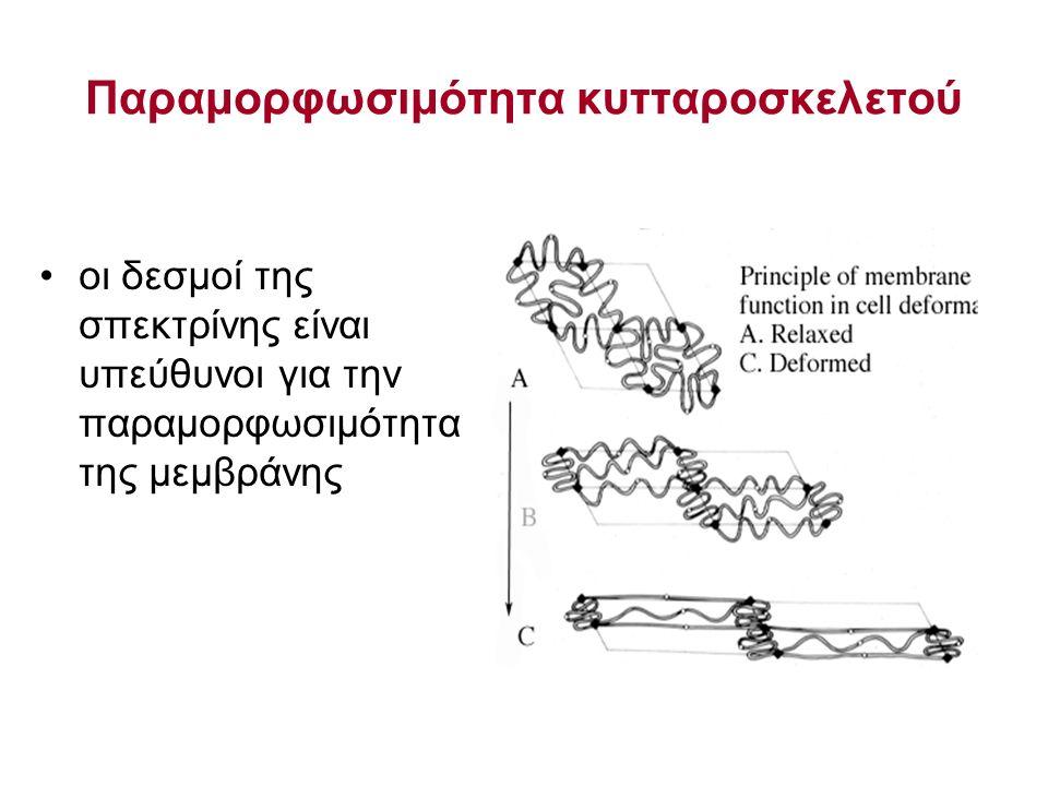 Παραμορφωσιμότητα κυτταροσκελετού οι δεσμοί της σπεκτρίνης είναι υπεύθυνοι για την παραμορφωσιμότητα της μεμβράνης