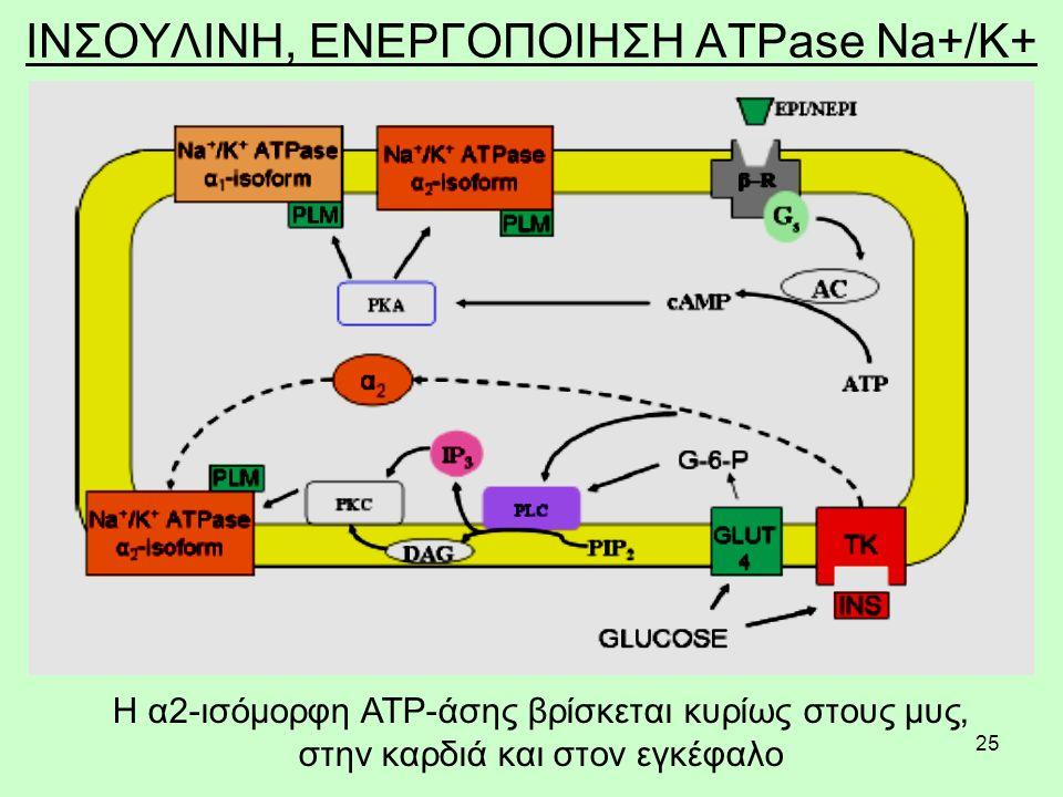 25 ΙΝΣΟΥΛΙΝΗ, ΕΝΕΡΓΟΠΟΙΗΣΗ ATPase Na+/K+ Η α2-ισόμορφη ATP-άσης βρίσκεται κυρίως στους μυς, στην καρδιά και στον εγκέφαλο