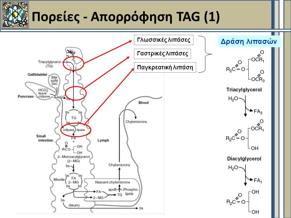 Πορείες - Aπορρόφηση TAG (1) Δράση λιπασών Γλωσσικές λιπάσες Γαστρικές λιπάσες Παγκρεατική λιπάση