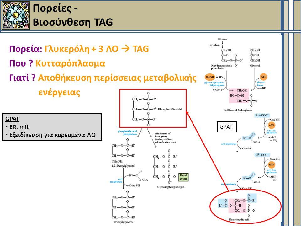 Πορείες - Βιοσύνθεση TAG Πορεία: Γλυκερόλη + 3 ΛΟ  TAG Που .