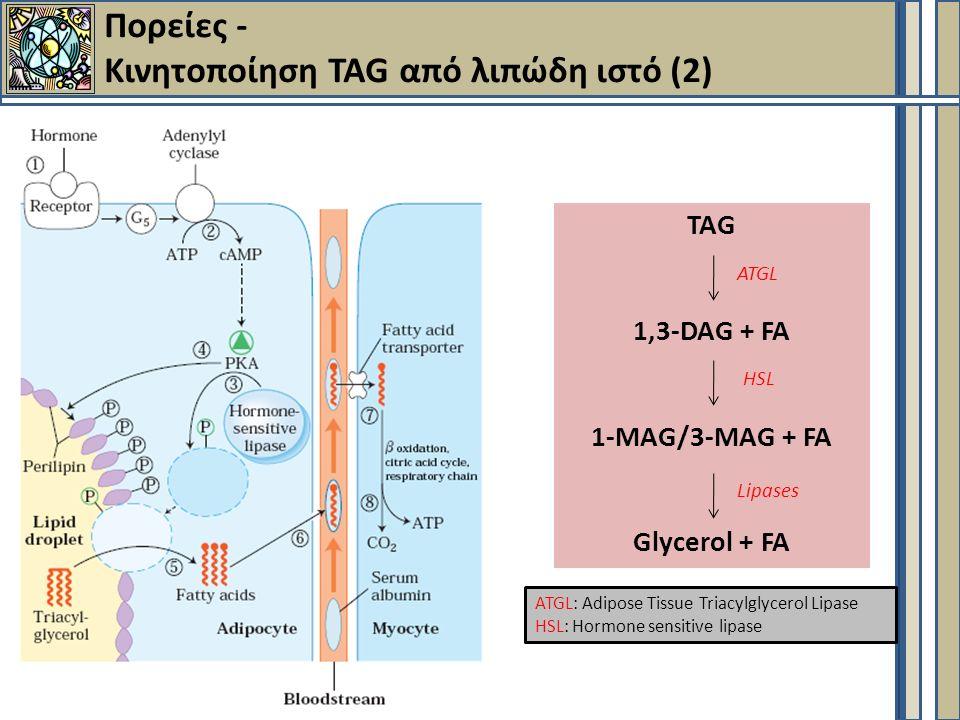 Πορείες - Κινητοποίηση TAG από λιπώδη ιστό (2) TAG 1,3-DAG + FA 1-MAG/3-MAG + FA Glycerol + FA ATGL HSL Lipases ATGL: Adipose Tissue Triacylglycerol Lipase HSL: Hormone sensitive lipase