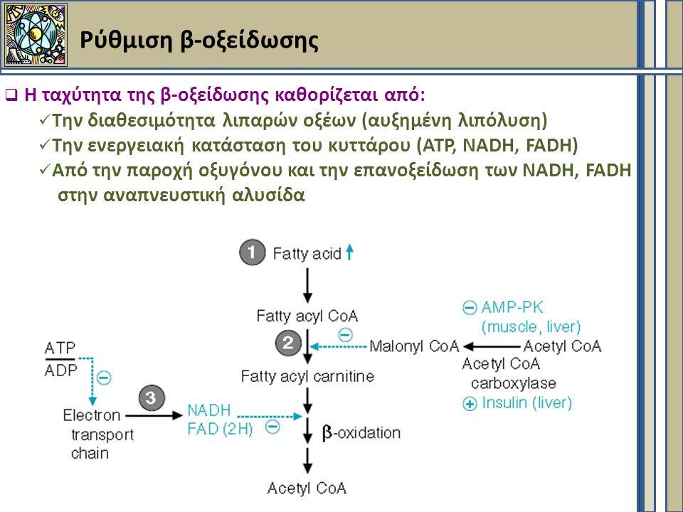 Ρύθμιση β-οξείδωσης  Η ταχύτητα της β-οξείδωσης καθορίζεται από: Την διαθεσιμότητα λιπαρών οξέων (αυξημένη λιπόλυση) Την ενεργειακή κατάσταση του κυττάρου (ΑΤΡ, NADH, FADH) Από την παροχή οξυγόνου και την επανοξείδωση των NADH, FADH στην αναπνευστική αλυσίδα