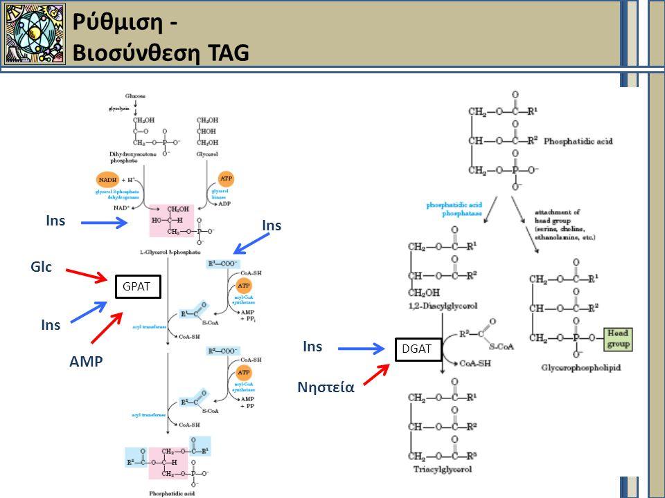 Ρύθμιση - Βιοσύνθεση TAG Ins GPAT Ins Glc DGAT Ins ΑΜΡ Νηστεία