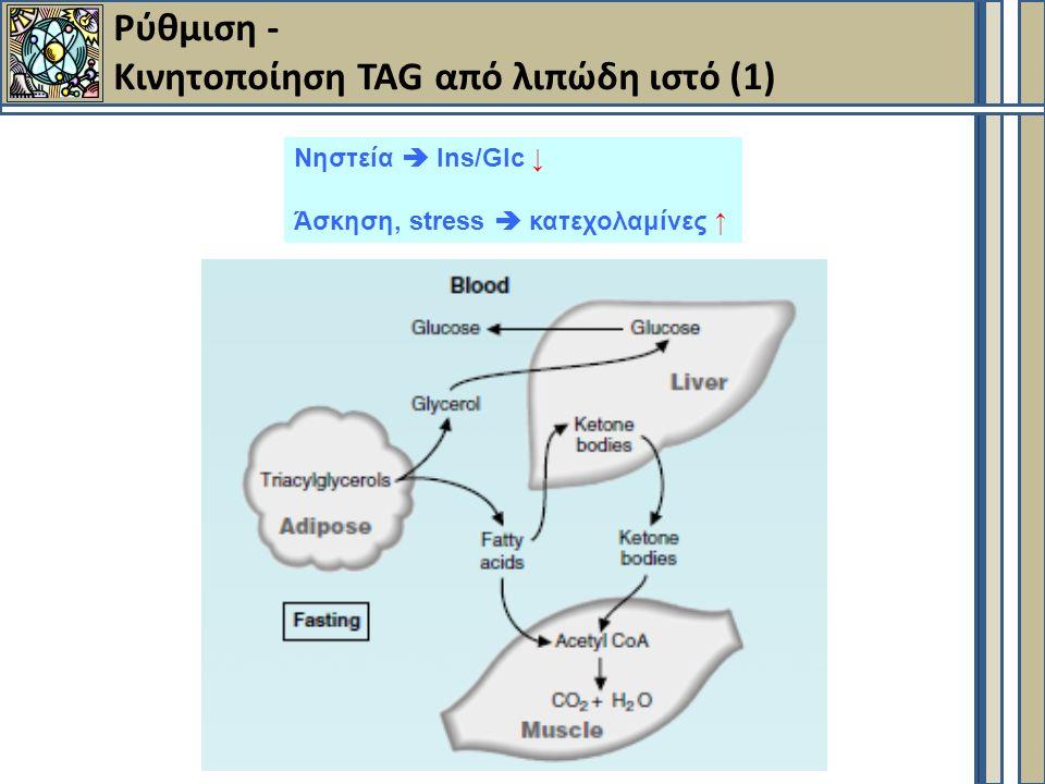 Ρύθμιση - Κινητοποίηση TAG από λιπώδη ιστό (1) Νηστεία  Ins/Glc ↓ Άσκηση, stress  κατεχολαμίνες ↑