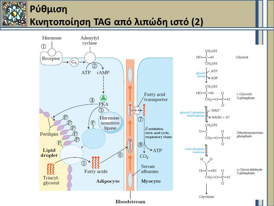 Ρύθμιση Κινητοποίηση TAG από λιπώδη ιστό (2)