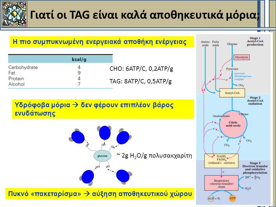 Γιατί οι TAG είναι καλά αποθηκευτικά μόρια; Η πιο συμπυκνωμένη ενεργειακά αποθήκη ενέργειας Υδρόφοβα μόρια  δεν φέρουν επιπλέον βάρος ενυδάτωσης Πυκνό «πακεταρίσμα»  αύξηση αποθηκευτικού χώρου στο κύτταρο CHO: 6ATP/C, 0,2ATP/g TAG: 8ATP/C, 0,5ATP/g ~ 2g H 2 O/g πολυσακχαρίτη