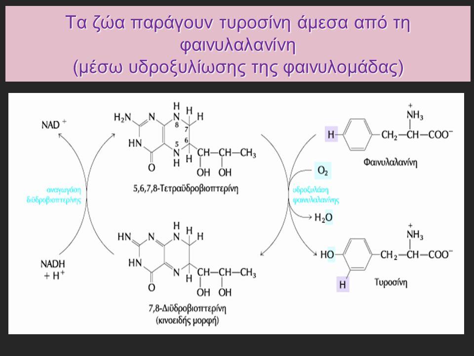 Τα ζώα παράγουν τυροσίνη άμεσα από τη φαινυλαλανίνη (μέσω υδροξυλίωσης της φαινυλομάδας)