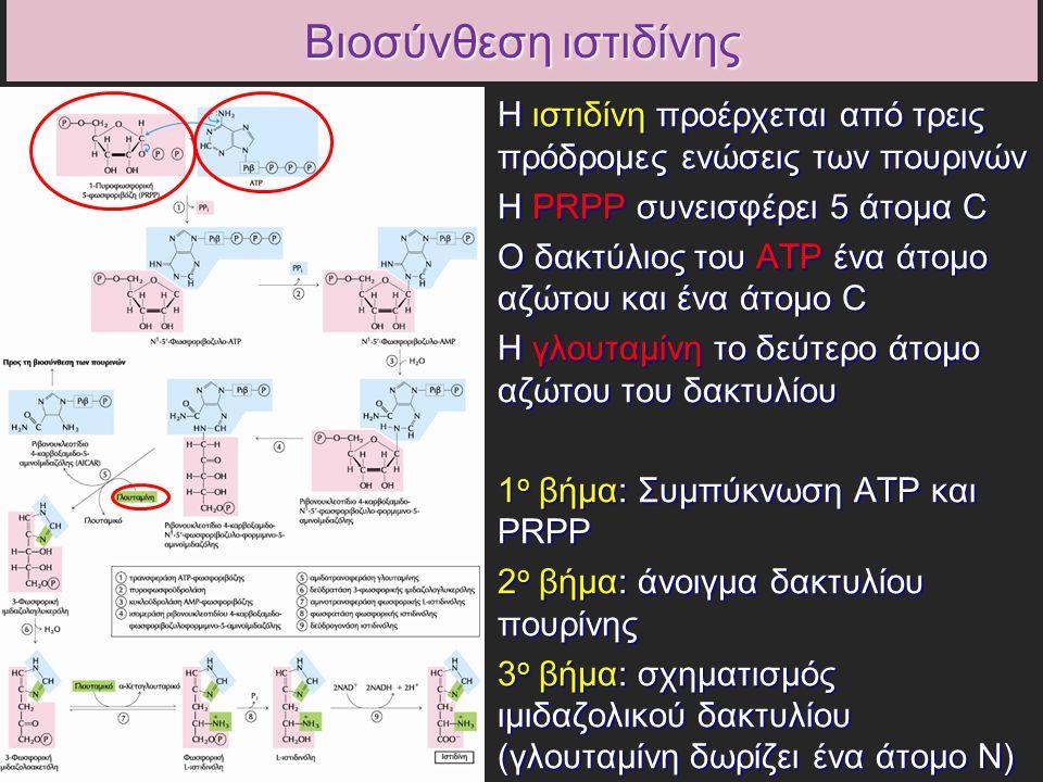 Βιοσύνθεση ιστιδίνης Η ιστιδίνη προέρχεται από τρεις πρόδρομες ενώσεις των πουρινών Η ιστιδίνη προέρχεται από τρεις πρόδρομες ενώσεις των πουρινών Η PRPP συνεισφέρει 5 άτομα C Η PRPP συνεισφέρει 5 άτομα C Ο δακτύλιος του ATP ένα άτομο αζώτου και ένα άτομο C Ο δακτύλιος του ATP ένα άτομο αζώτου και ένα άτομο C Η γλουταμίνη το δεύτερο άτομο αζώτου του δακτυλίου Η γλουταμίνη το δεύτερο άτομο αζώτου του δακτυλίου 1 ο βήμα: Συμπύκνωση ATP και PRPP 1 ο βήμα: Συμπύκνωση ATP και PRPP 2 ο βήμα: άνοιγμα δακτυλίου πουρίνης 2 ο βήμα: άνοιγμα δακτυλίου πουρίνης 3 ο βήμα: σχηματισμός ιμιδαζολικού δακτυλίου (γλουταμίνη δωρίζει ένα άτομο Ν) 3 ο βήμα: σχηματισμός ιμιδαζολικού δακτυλίου (γλουταμίνη δωρίζει ένα άτομο Ν)