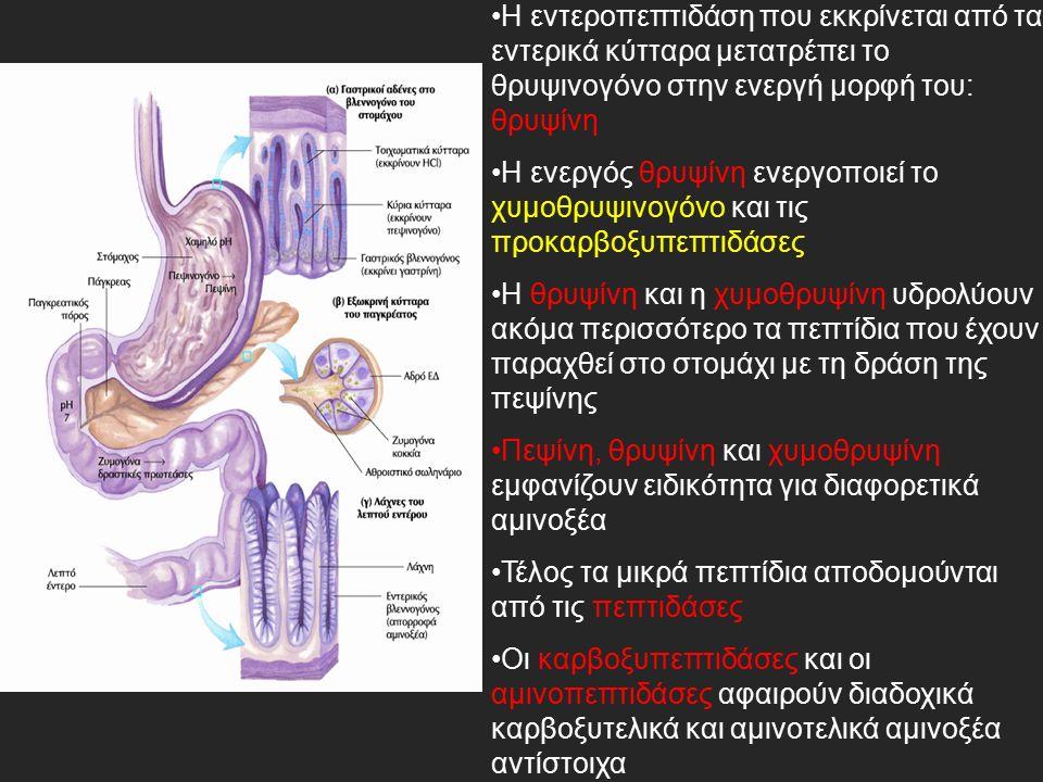 Η εντεροπεπτιδάση που εκκρίνεται από τα εντερικά κύτταρα μετατρέπει το θρυψινογόνο στην ενεργή μορφή του: θρυψίνη Η ενεργός θρυψίνη ενεργοποιεί το χυμοθρυψινογόνο και τις προκαρβοξυπεπτιδάσες Η θρυψίνη και η χυμοθρυψίνη υδρολύουν ακόμα περισσότερο τα πεπτίδια που έχουν παραχθεί στο στομάχι με τη δράση της πεψίνης Πεψίνη, θρυψίνη και χυμοθρυψίνη εμφανίζουν ειδικότητα για διαφορετικά αμινοξέα Τέλος τα μικρά πεπτίδια αποδομούνται από τις πεπτιδάσες Οι καρβοξυπεπτιδάσες και οι αμινοπεπτιδάσες αφαιρούν διαδοχικά καρβοξυτελικά και αμινοτελικά αμινοξέα αντίστοιχα