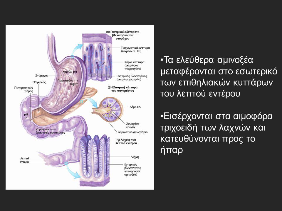 Τα ελεύθερα αμινοξέα μεταφέρονται στο εσωτερικό των επιθηλιακών κυττάρων του λεπτού εντέρου Εισέρχονται στα αιμοφόρα τριχοειδή των λαχνών και κατευθύνονται προς το ήπαρ
