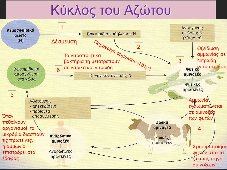 Κύκλος του Αζώτου 1 Δέσμευση 2 Παραγωγή αμμωνίας (ΝΗ 4 + ) 3 Οξείδωση αμμωνίας σε Νιτρώδη (νιτροποίηση) 4 Αμμωνία ενσωματώνεται σε αμινοξέα των φυτών Χρησιμοποίηση φυτών από τα ζώα ως πηγή αμινοξέων 5 Όταν πεθαίνουν οργανισμοί, τα μικρόβια διασπούν τις πρωτείνες, η αμμωνία επιστρέφει στο έδαφος 6 Τα νιτροποιητικά βακτήρια τη μετατρέπουν σε νιτρικά και νιτρώδη