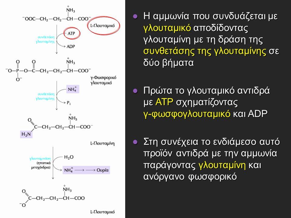 Η αμμωνία που συνδυάζεται με γλουταμικό αποδίδοντας γλουταμίνη με τη δράση της συνθετάσης της γλουταμίνης σε δύο βήματα Η αμμωνία που συνδυάζεται με γλουταμικό αποδίδοντας γλουταμίνη με τη δράση της συνθετάσης της γλουταμίνης σε δύο βήματα Πρώτα το γλουταμικό αντιδρά με ATP σχηματίζοντας γ-φωσφογλουταμικό και ADP Πρώτα το γλουταμικό αντιδρά με ATP σχηματίζοντας γ-φωσφογλουταμικό και ADP Στη συνέχεια το ενδιάμεσο αυτό προϊόν αντιδρά με την αμμωνία παράγοντας γλουταμίνη και ανόργανο φωσφορικό Στη συνέχεια το ενδιάμεσο αυτό προϊόν αντιδρά με την αμμωνία παράγοντας γλουταμίνη και ανόργανο φωσφορικό
