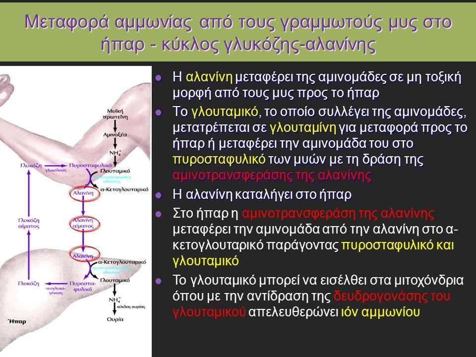 Μεταφορά αμμωνίας από τους γραμμωτούς μυς στο ήπαρ - κύκλος γλυκόζης-αλανίνης Η αλανίνη μεταφέρει της αμινομάδες σε μη τοξική μορφή από τους μυς προς το ήπαρ Η αλανίνη μεταφέρει της αμινομάδες σε μη τοξική μορφή από τους μυς προς το ήπαρ Το γλουταμικό, το οποίο συλλέγει της αμινομάδες, μετατρέπεται σε γλουταμίνη για μεταφορά προς το ήπαρ ή μεταφέρει την αμινομάδα του στο πυροσταφυλικό των μυών με τη δράση της αμινοτρανσφεράσης της αλανίνης Το γλουταμικό, το οποίο συλλέγει της αμινομάδες, μετατρέπεται σε γλουταμίνη για μεταφορά προς το ήπαρ ή μεταφέρει την αμινομάδα του στο πυροσταφυλικό των μυών με τη δράση της αμινοτρανσφεράσης της αλανίνης Η αλανίνη καταλήγει στο ήπαρ Η αλανίνη καταλήγει στο ήπαρ Στο ήπαρ η αμινοτρανσφεράση της αλανίνης μεταφέρει την αμινομάδα από την αλανίνη στο α- κετογλουταρικό παράγοντας πυροσταφυλικό και γλουταμικό Το γλουταμικό μπορεί να εισέλθει στα μιτοχόνδρια όπου με την αντίδραση της δευδρογονάσης του γλουταμικού απελευθερώνει ιόν αμμωνίου