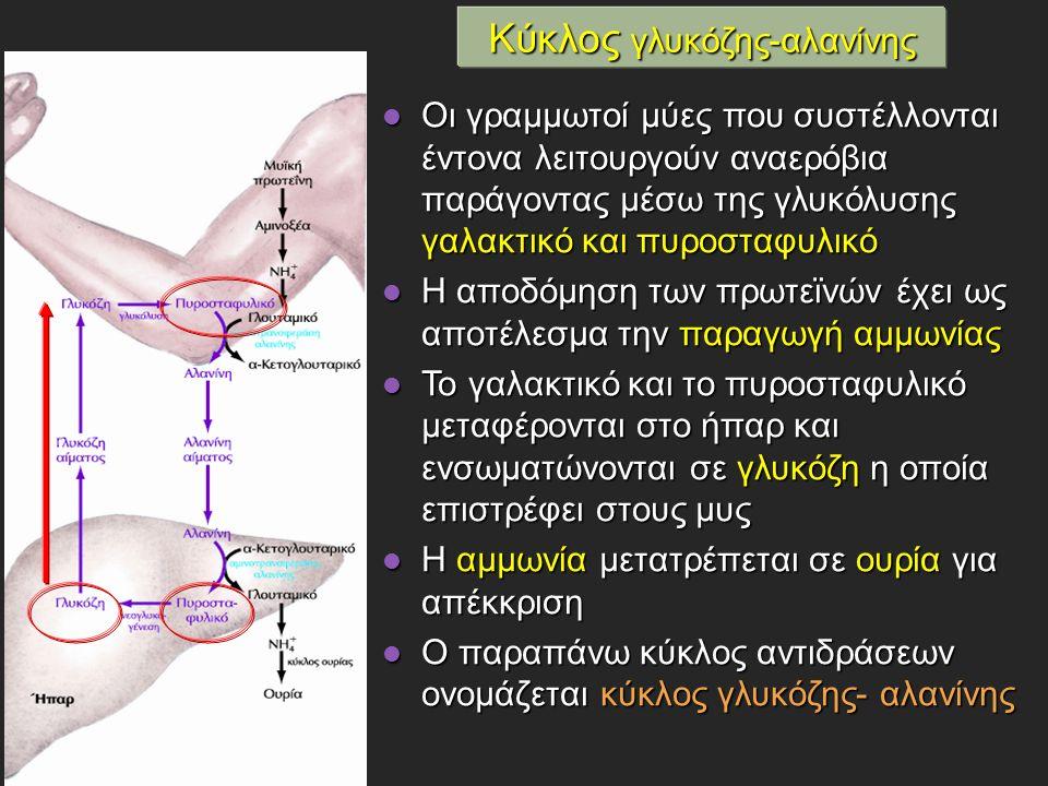 Οι γραμμωτοί μύες που συστέλλονται έντονα λειτουργούν αναερόβια παράγοντας μέσω της γλυκόλυσης γαλακτικό και πυροσταφυλικό Οι γραμμωτοί μύες που συστέλλονται έντονα λειτουργούν αναερόβια παράγοντας μέσω της γλυκόλυσης γαλακτικό και πυροσταφυλικό Η αποδόμηση των πρωτεϊνών έχει ως αποτέλεσμα την παραγωγή αμμωνίας Η αποδόμηση των πρωτεϊνών έχει ως αποτέλεσμα την παραγωγή αμμωνίας Το γαλακτικό και το πυροσταφυλικό μεταφέρονται στο ήπαρ και ενσωματώνονται σε γλυκόζη η οποία επιστρέφει στους μυς Το γαλακτικό και το πυροσταφυλικό μεταφέρονται στο ήπαρ και ενσωματώνονται σε γλυκόζη η οποία επιστρέφει στους μυς Η αμμωνία μετατρέπεται σε ουρία για απέκκριση Η αμμωνία μετατρέπεται σε ουρία για απέκκριση Ο παραπάνω κύκλος αντιδράσεων ονομάζεται κύκλος γλυκόζης- αλανίνης Ο παραπάνω κύκλος αντιδράσεων ονομάζεται κύκλος γλυκόζης- αλανίνης Κύκλος γλυκόζης-αλανίνης