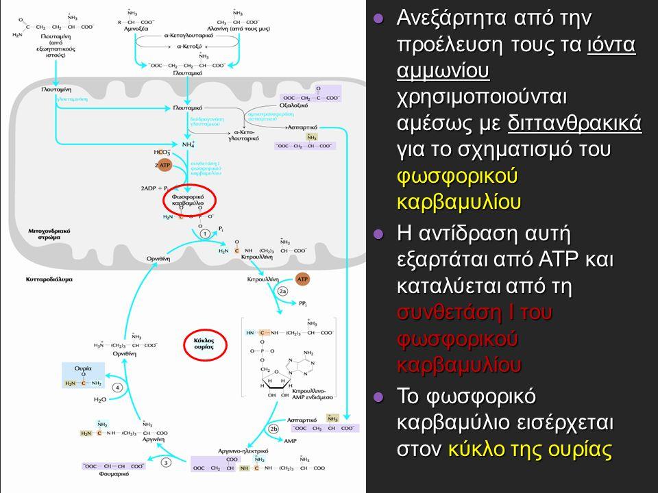 Ανεξάρτητα από την προέλευση τους τα ιόντα αμμωνίου χρησιμοποιούνται αμέσως με διττανθρακικά για το σχηματισμό του φωσφορικού καρβαμυλίου Ανεξάρτητα από την προέλευση τους τα ιόντα αμμωνίου χρησιμοποιούνται αμέσως με διττανθρακικά για το σχηματισμό του φωσφορικού καρβαμυλίου Η αντίδραση αυτή εξαρτάται από ATP και καταλύεται από τη συνθετάση I του φωσφορικού καρβαμυλίου Η αντίδραση αυτή εξαρτάται από ATP και καταλύεται από τη συνθετάση I του φωσφορικού καρβαμυλίου Το φωσφορικό καρβαμύλιο εισέρχεται στον κύκλο της ουρίας Το φωσφορικό καρβαμύλιο εισέρχεται στον κύκλο της ουρίας