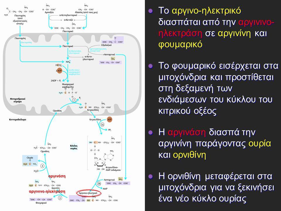 Το αργινο-ηλεκτρικό διασπάται από την αργινινο- ηλεκτράση σε αργινίνη και φουμαρικό Το αργινο-ηλεκτρικό διασπάται από την αργινινο- ηλεκτράση σε αργινίνη και φουμαρικό Το φουμαρικό εισέρχεται στα μιτοχόνδρια και προστίθεται στη δεξαμενή των ενδιάμεσων του κύκλου του κιτρικού οξέος Το φουμαρικό εισέρχεται στα μιτοχόνδρια και προστίθεται στη δεξαμενή των ενδιάμεσων του κύκλου του κιτρικού οξέος Η αργινάση διασπά την αργινίνη παράγοντας ουρία και ορνιθίνη Η αργινάση διασπά την αργινίνη παράγοντας ουρία και ορνιθίνη Η ορνιθίνη μεταφέρεται στα μιτοχόνδρια για να ξεκινήσει ένα νέο κύκλο ουρίας Η ορνιθίνη μεταφέρεται στα μιτοχόνδρια για να ξεκινήσει ένα νέο κύκλο ουρίας αργινινο-ηλεκτράση αργινάση