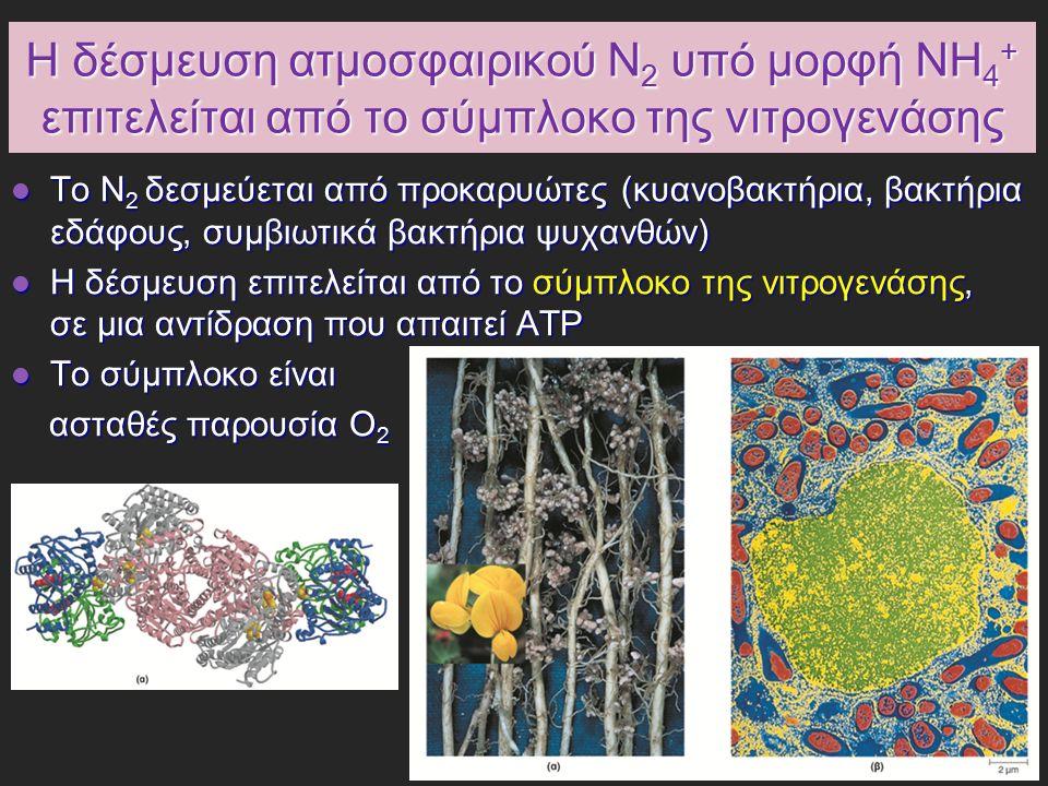 Η αμμωνία ενσωματώνεται σε βιομόρια μέσω γλουταμικού και γλουταμίνης Το ανηγμένο άζωτο (υπό μορφή ΝΗ 4 + ) ενσωματώνεται σε αμινοξέα και έπειτα σε άλλα αζωτούχα βιομόρια Το ανηγμένο άζωτο (υπό μορφή ΝΗ 4 + ) ενσωματώνεται σε αμινοξέα και έπειτα σε άλλα αζωτούχα βιομόρια Το γλουταμικό και η γλουταμίνη αποτελούν το κρίσιμο σημείο εισόδου (κύρια αμινοξέα για καταβολισμό αμμωνίας και οξείδωση αμινοξέων) Το γλουταμικό και η γλουταμίνη αποτελούν το κρίσιμο σημείο εισόδου (κύρια αμινοξέα για καταβολισμό αμμωνίας και οξείδωση αμινοξέων) Ρυθμιστικό ένζυμο: συνθετάση της γλουταμίνης Ρυθμιστικό ένζυμο: συνθετάση της γλουταμίνης -καταλύει την ενσωμάτωση αμμωνίας στο γλουταμικό για παραγωγή γλουταμίνης -υπάρχει σε όλους τους οργανισμούς, βακτήρια, φυτά, θηλαστικά