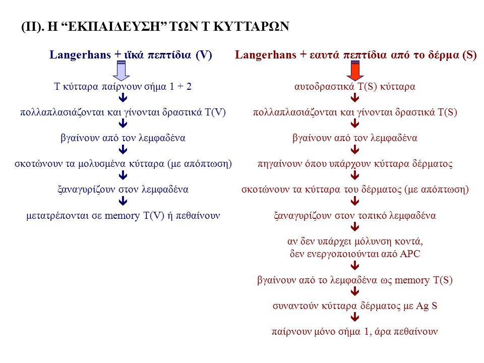 """(ΙΙ). Η """"ΕKΠΑΙΔΕΥΣΗ"""" ΤΩΝ Τ ΚΥΤΤΑΡΩΝ Τ κύτταρα παίρνουν σήμα 1 + 2  πολλαπλασιάζονται και γίνονται δραστικά Τ(V)  βγαίνουν από τον λεμφαδένα  σκοτών"""