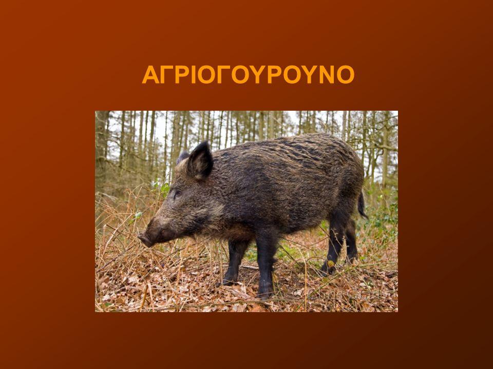 ΑΓΡΙΟΓΟΥΡΟΥΝΟ