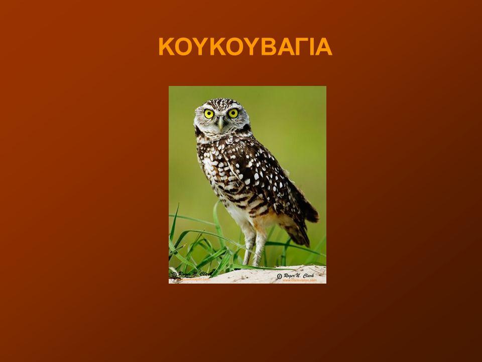 Κουκουβάγια ή γλαύκα ονομάζεται κάθε μέλος της βιολογικής τάξης Γλαυκόμορφα, η οποία ανήκει στην ομοταξία των Πτηνών και περιλαμβάνει περίπου 200 είδη αρπακτικών και στην πλειονότητά τους νυκτόβιων πουλιών.