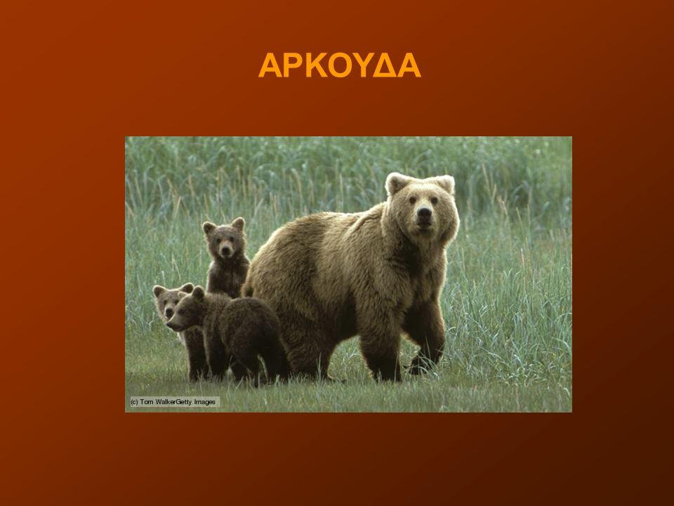 Η καφέ αρκούδα είναι παμφάγο θηλαστικό ζώο, είδος αρκούδας (ίσως το γνωστότερο) που μπορεί να φτάσει σε μάζα από 170 μέχρι 300 κιλά.