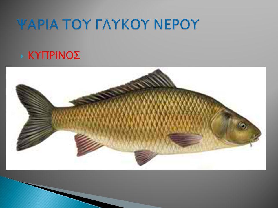  ΚΥΠΡΙΝΟΣ