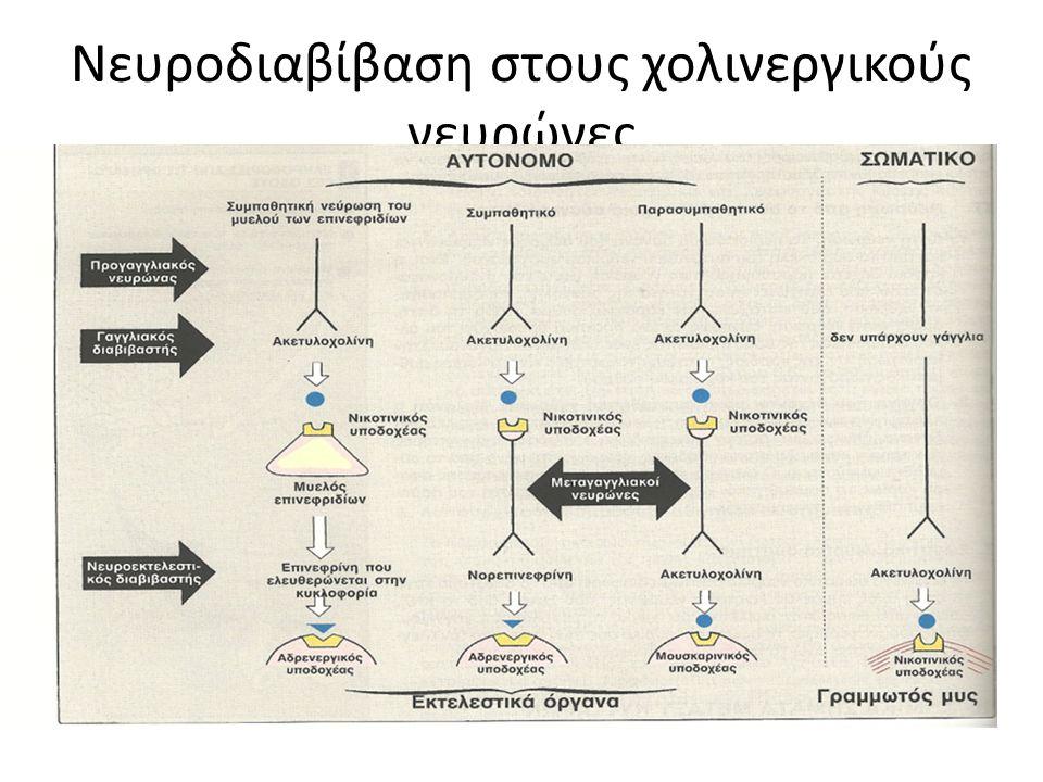 Νευροδιαβίβαση στους χολινεργικούς νευρώνες