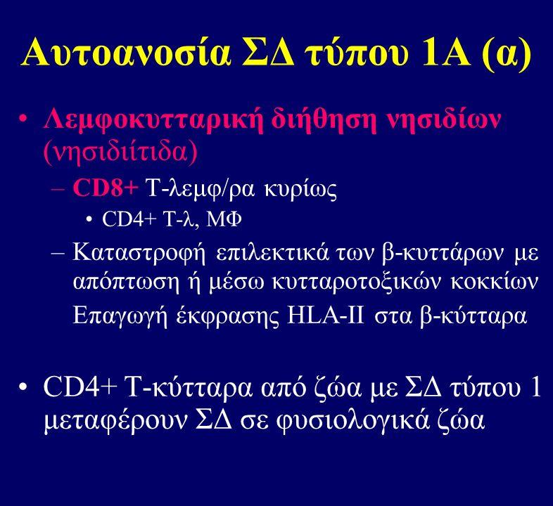 Αυτοανοσία ΣΔ τύπου 1Α (α) Λεμφοκυτταρική διήθηση νησιδίων (νησιδιίτιδα) –CD8+ Τ-λεμφ/ρα κυρίως CD4+ T-λ, ΜΦ –Καταστροφή επιλεκτικά των β-κυττάρων με απόπτωση ή μέσω κυτταροτοξικών κοκκίων Eπαγωγή έκφρασης HLA-II στα β-κύτταρα CD4+ Τ-κύτταρα από ζώα με ΣΔ τύπου 1 μεταφέρουν ΣΔ σε φυσιολογικά ζώα
