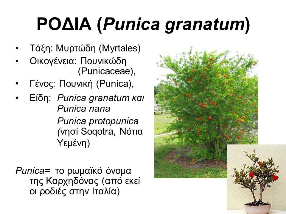 ΡΟΔΙΑ (Punica granatum) Τάξη: Μυρτώδη (Myrtales) Οικογένεια: Πουνικώδη (Punicaceae), Γένος: Πουνική (Punica), Είδη: Punica granatum και Punica nana Punica protopunica (νησί Soqotra, Νότια Υεμένη) Punica= το ρωμαϊκό όνομα της Καρχηδόνας (από εκεί οι ροδιές στην Ιταλία)