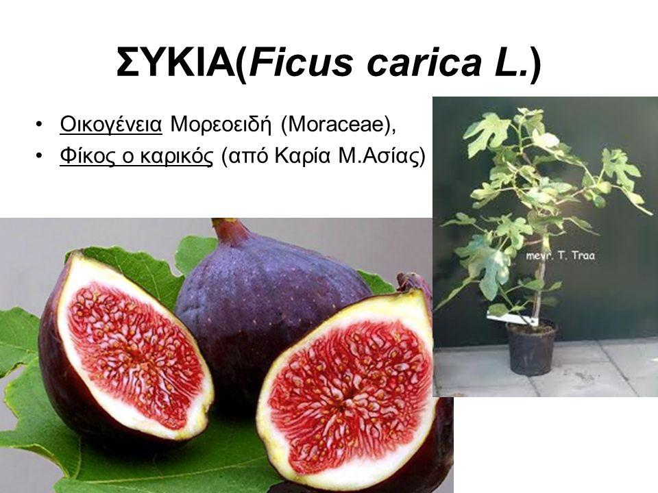 ΣΥΚΙΑ(Ficus carica L.) Οικογένεια Μορεοειδή (Moraceae), Φίκος ο καρικός (από Καρία Μ.Ασίας)