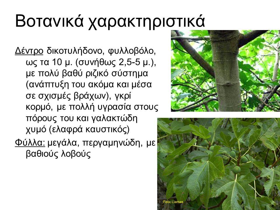 Βοτανικά χαρακτηριστικά Δέντρο δικοτυλήδονο, φυλλοβόλο, ως τα 10 μ.