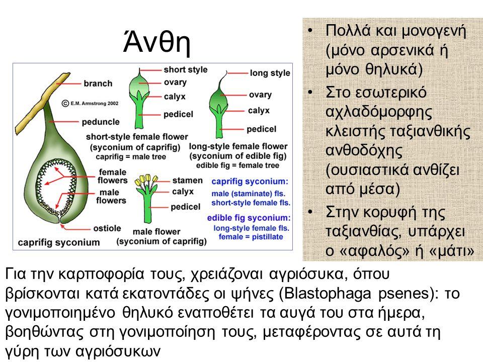 Άνθη Πολλά και μονογενή (μόνο αρσενικά ή μόνο θηλυκά) Στο εσωτερικό αχλαδόμορφης κλειστής ταξιανθικής ανθοδόχης (ουσιαστικά ανθίζει από μέσα) Στην κορυφή της ταξιανθίας, υπάρχει ο «αφαλός» ή «μάτι» Για την καρποφορία τους, χρειάζοναι αγριόσυκα, όπου βρίσκονται κατά εκατοντάδες οι ψήνες (Blastophaga psenes): το γονιμοποιημένο θηλυκό εναποθέτει τα αυγά του στα ήμερα, βοηθώντας στη γονιμοποίηση τους, μεταφέροντας σε αυτά τη γύρη των αγριόσυκων