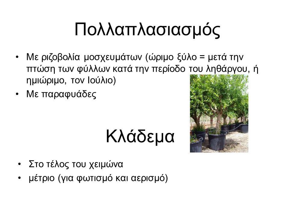 Κλάδεμα Στο τέλος του χειμώνα μέτριο (για φωτισμό και αερισμό) Πολλαπλασιασμός Με ριζοβολία μοσχευμάτων (ώριμο ξύλο = μετά την πτώση των φύλλων κατά την περίοδο του ληθάργου, ή ημιώριμο, τον Ιούλιο) Με παραφυάδες