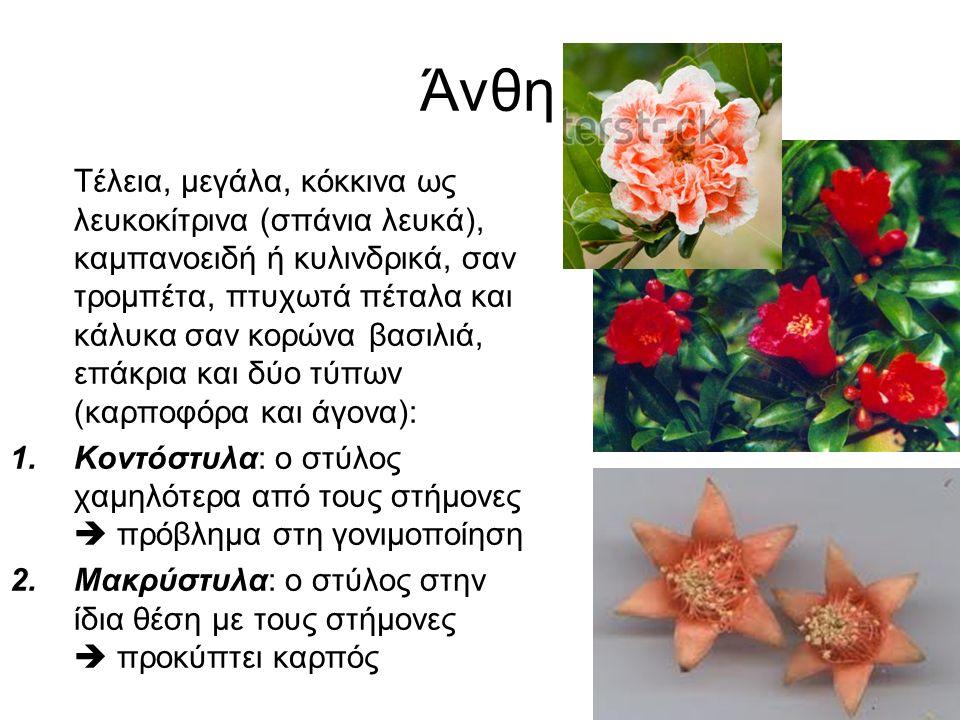 Άνθη Τέλεια, μεγάλα, κόκκινα ως λευκοκίτρινα (σπάνια λευκά), καμπανοειδή ή κυλινδρικά, σαν τρομπέτα, πτυχωτά πέταλα και κάλυκα σαν κορώνα βασιλιά, επάκρια και δύο τύπων (καρποφόρα και άγονα): 1.Κοντόστυλα: ο στύλος χαμηλότερα από τους στήμονες  πρόβλημα στη γονιμοποίηση 2.Μακρύστυλα: ο στύλος στην ίδια θέση με τους στήμονες  προκύπτει καρπός