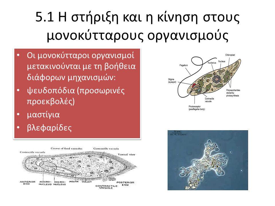 5.1 Η στήριξη και η κίνηση στους μονοκύτταρους οργανισμούς Οι μονοκύτταροι οργανισμοί μετακινούνται με τη βοήθεια διάφορων μηχανισμών: ψευδοπόδια (προσωρινές προεκβολές) μαστίγια βλεφαρίδες Οι μονοκύτταροι οργανισμοί μετακινούνται με τη βοήθεια διάφορων μηχανισμών: ψευδοπόδια (προσωρινές προεκβολές) μαστίγια βλεφαρίδες