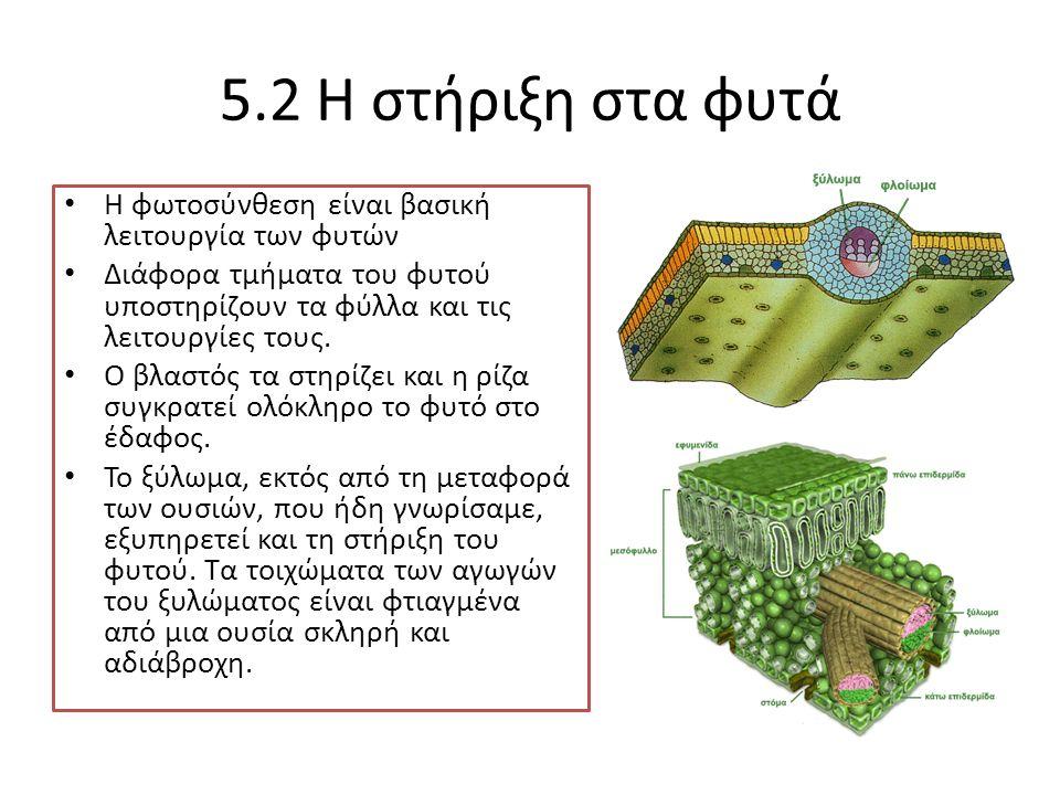 5.2 Η στήριξη στα φυτά Η φωτοσύνθεση είναι βασική λειτουργία των φυτών Διάφορα τμήματα του φυτού υποστηρίζουν τα φύλλα και τις λειτουργίες τους. Ο βλα