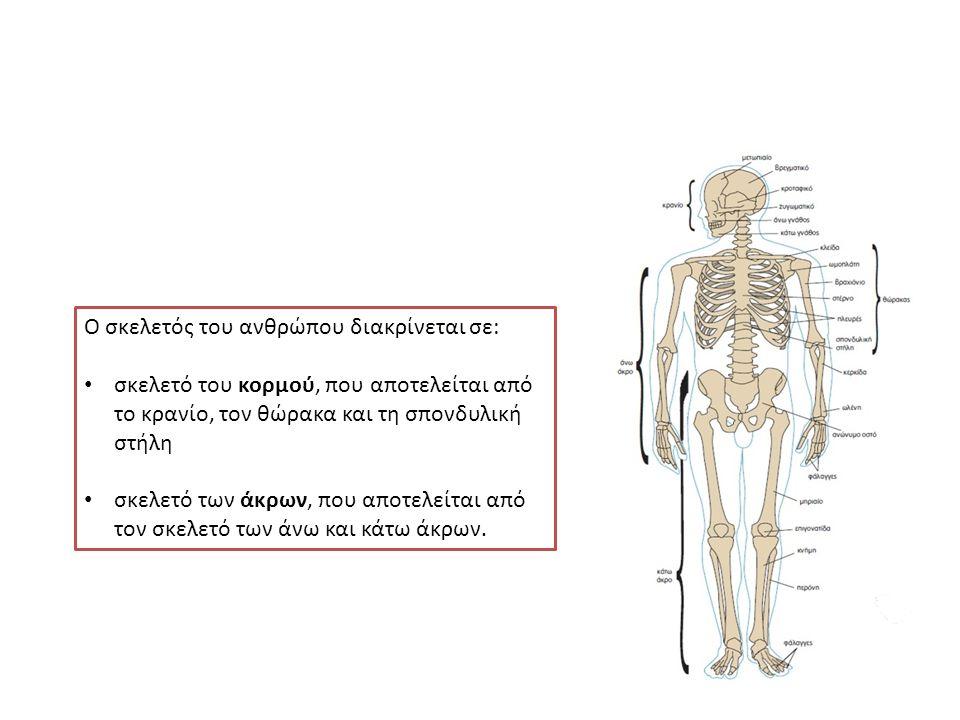 Ο σκελετός του ανθρώπου διακρίνεται σε: σκελετό του κορμού, που αποτελείται από το κρανίο, τον θώρακα και τη σπονδυλική στήλη σκελετό των άκρων, που αποτελείται από τον σκελετό των άνω και κάτω άκρων.