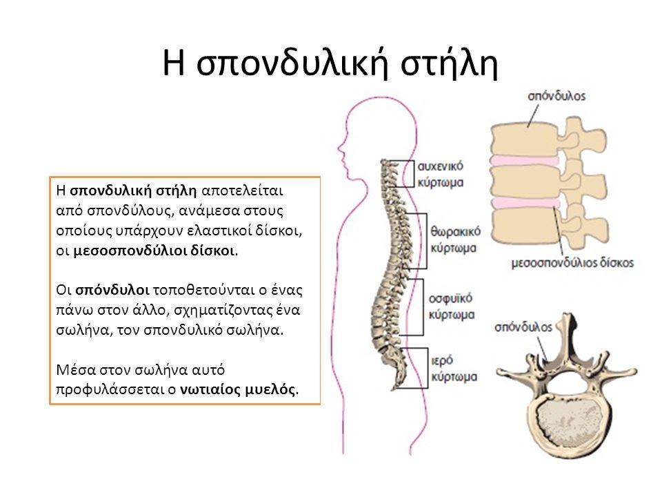 Η σπονδυλική στήλη Η σπονδυλική στήλη αποτελείται από σπονδύλους, ανάμεσα στους οποίους υπάρχουν ελαστικοί δίσκοι, οι μεσοσπονδύλιοι δίσκοι. Οι σπόνδυ